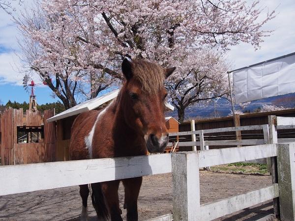 まかいの牧場の馬と桜